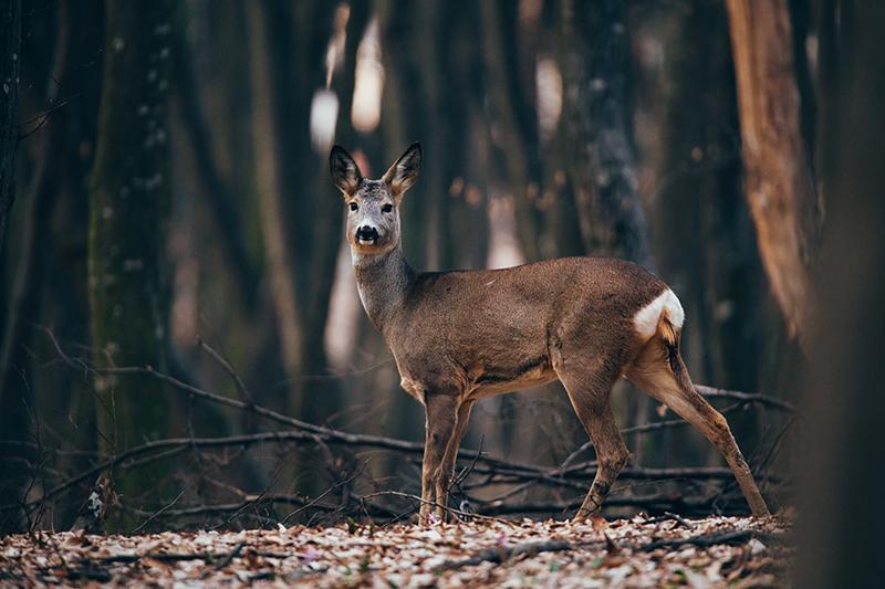 Capriolo femmina in un bosco autunnale