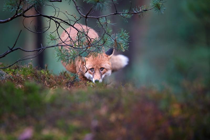 Volpe rossa in agguato nel bosco
